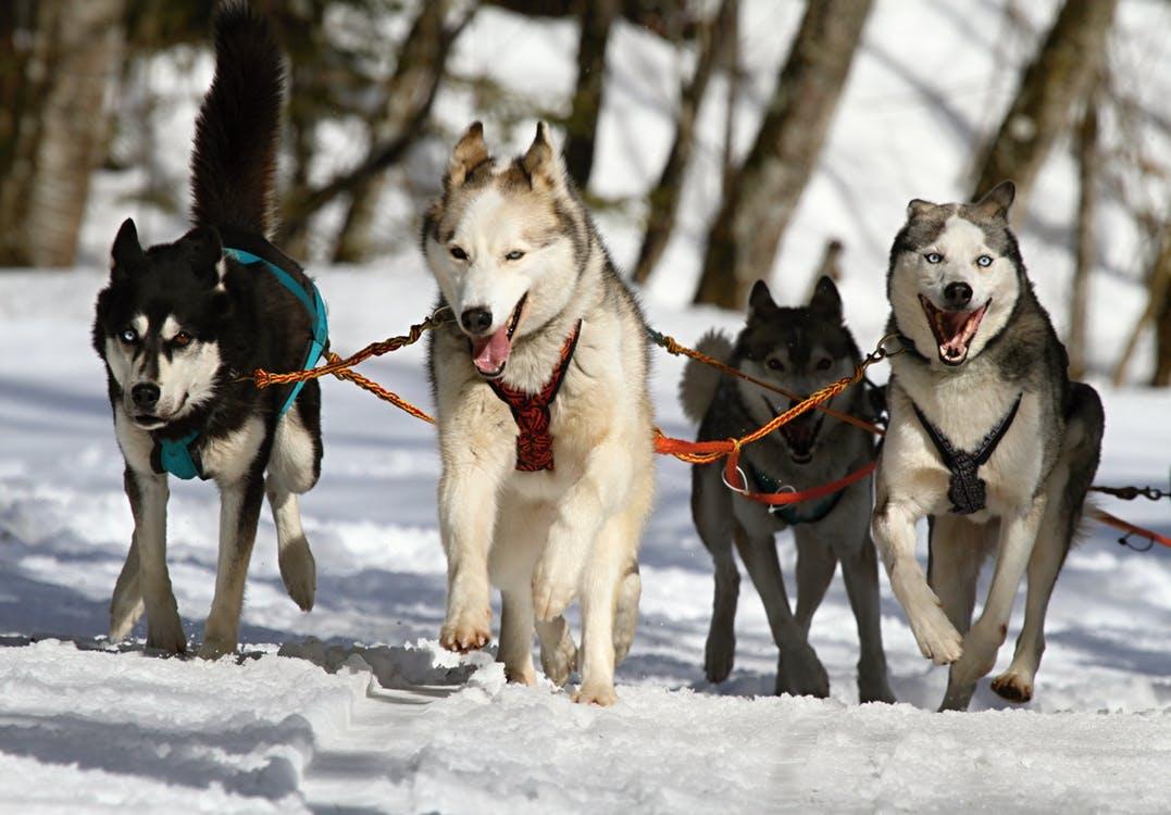 huskies-husky-blue-eye-dog-60050